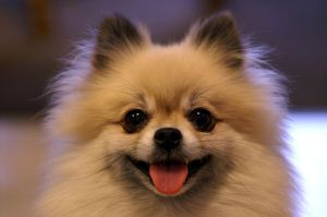 """Smiling Tan Pomerarnian"" by Slant6guy at en.wikipedia. Licensed under CC BY-SA 3.0 via Wikimedia Commons"